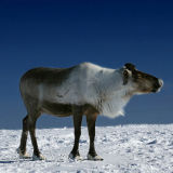 A reindeer in tundra