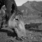 Grazing horses. Altai.