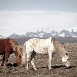 Grazing horses. Iceland.