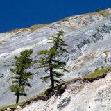 Larch trees. Altai.