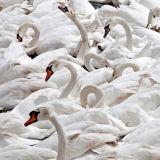 A big swan family