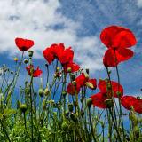 Poppy field in Dorset