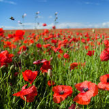 A flying beetle over the poppy field