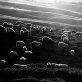 Grazing sheeps. Tuscany.
