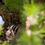 A ground squirrel. Altai.