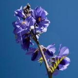 A bell-flower