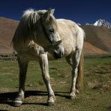 A grazing horse. Tibet