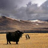 Grazing yaks. Tibet.