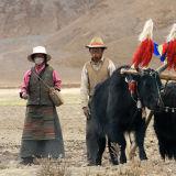 Tibetians in the field