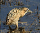 Bittern with prey