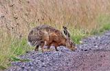 Brown hare at roadside