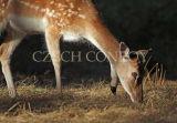 Fallow deer in evening light