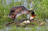 Great-crested grebe on nest