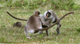 Langurs fighting