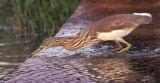 Pond heron strikes