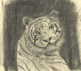 Tiger sketch: curiosity