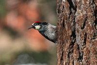 Acorn Woodpecker 01