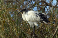 African Sacred Ibis 01