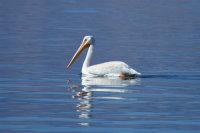 American White Pelican 01
