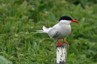 Arctic Tern 04