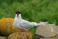 Arctic Tern 05