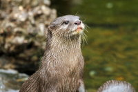 Asian Small-clawed Otter 01