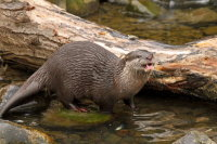 Asian Small-clawed Otter 02