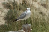 Audouins Gull 02