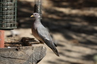 Band-tailed Pigeon 01