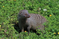 Banded Mongoose 01