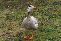 Bar-headed Goose 01