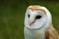Barn Owl 03