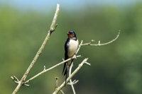 Barn Swallow 02