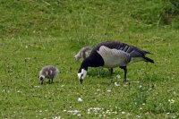 Barnacle Goose 01