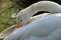 Bewicks Swan 01