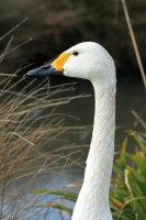 Bewicks Swan 02