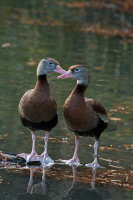 Black-bellied Whistling Duck 02