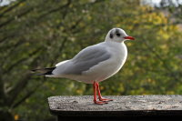 Black-headed Gull 01