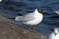Black-headed Gull 02