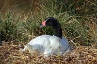 Black-necked Swan 01