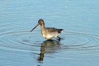 Black-tailed Godwit 03
