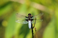 Broad-bodied Chaser 01