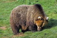 Brown Bear 01