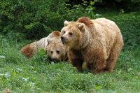 Brown Bear 02