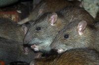 Brown Rat 01