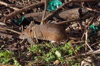 Brown Rat 02