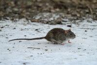 Brown Rat 03
