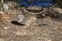 California Ground Squirrel 01