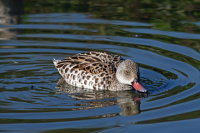 Cape Teal 01