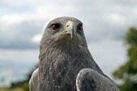 Chilean Eagle 01